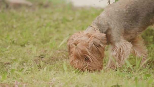 Yorkshire terrier grass dog Sniffs on the ground looking for a dog instinct slow motion video, against a brown background. pet dog concept lifestyle