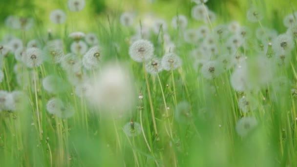 Bílé nadýchané pampelišky, přirozené pole pampelišky zpomalené video zelená jarní rozmazané pozadí, selektivní fokus. koncepce životního stylu přírody