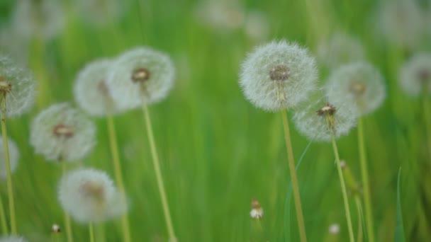 Bílé nadýchané pampelišky, přirozené pole pampelišky zpomalené video zelená jarní rozmazané pozadí, životní styl selektivní fokus. přírodní koncept