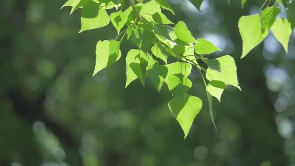 Zelený strom větev na bílém pozadí přírody. sluneční světlo listy stromů vlnících se životní styl v pomalém pohybu větru video. Jarní příroda koncept