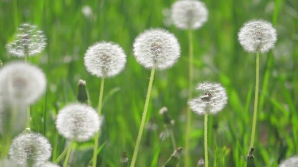 Fehér bolyhos pitypang életmód, a természetes területen pitypang lassított videóinak homályos tavaszi háttér, a szelektív összpontosít. a természet koncepció