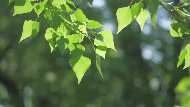 Zelený strom větev na bílém pozadí přírody. sluneční světlo listy stromů vlnících se ve větru slow motion video. Jarní koncept přírodní životní styl