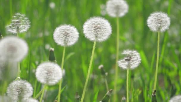 Bílé nadýchané pampelišky, životní styl přirozené pole pampelišky zpomalené video zelená jarní rozmazané pozadí, selektivní fokus. přírodní koncept