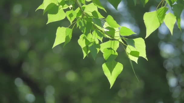 green tree branch on a white background nature. sunlight leaves trees swaying in the wind slow lifestyle motion video. spring concept nature