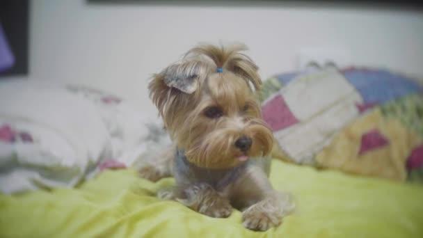 Velmi smutný pes. Smutná hranice Yorkshire Terrier.The pes je nemocný a postrádá jeho majitel. nemocný pes lehne na postel. nemocný pes koncept životní styl interiéru