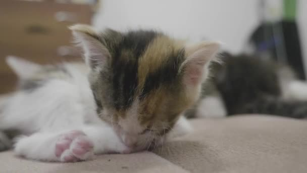 small three-colored kitten lies on the bed slow motion video. small furry cat pet. lifestyle fluffy kitten concept