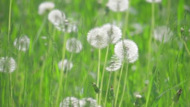 Bílé nadýchané pampelišky, přirozené pole pampelišky zpomalené video zelené nejasná životní styl na jaře pozadí, selektivní fokus. přírodní koncept