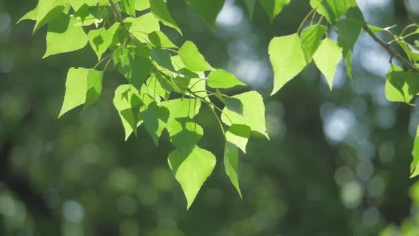 Zelený strom větev na bílém pozadí přírody. sluneční světlo listy stromů vlnících se ve větru slow motion video. Jarní životní styl pojetí přírody