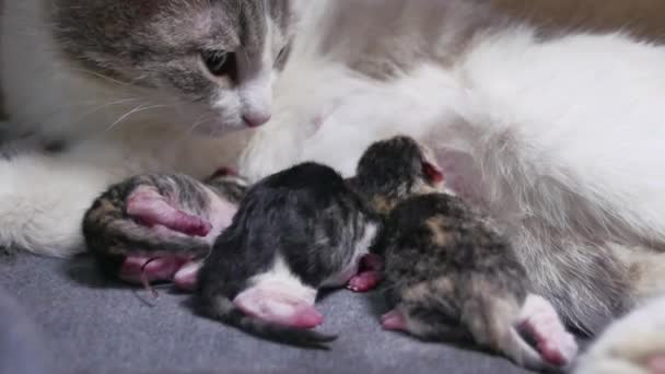 Gattini Gatto E Neonato Piccoli Gattini Succhiare Una Tetta Di