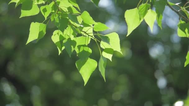 Zelený strom větev na bílém pozadí přírody. sluneční světlo listy stromů vlnících se ve větru zpomalené video životního stylu. Jarní příroda koncept