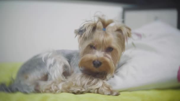Velmi smutný pes. Smutná hranice Yorkshire Terrier.The pes je nemocný a postrádá jeho majitel. nemocný pes lehne na postel. nemocný pes koncept interiéru životní styl