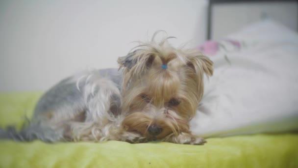 Velmi smutný pes. Smutná hranice Yorkshire Terrier.The pes je nemocný a postrádá jeho majitel. nemocný pes lehne na postel. nemocný pes životní styl koncepce interiéru