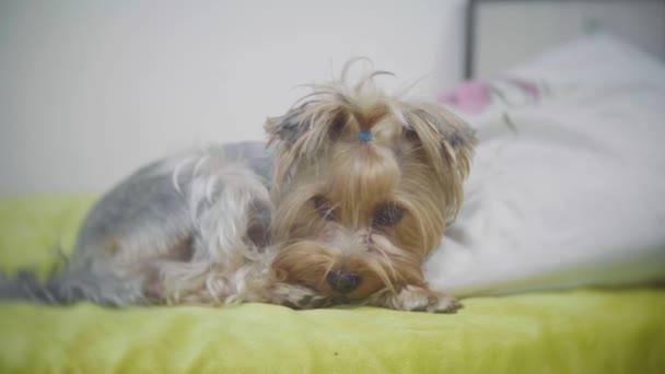 Velmi smutný pes. Smutná hranice Yorkshire Terrier.The pes je nemocný a postrádá jeho majitel. nemocný pes lehne na postel. nemocný životní styl psa koncepce interiéru