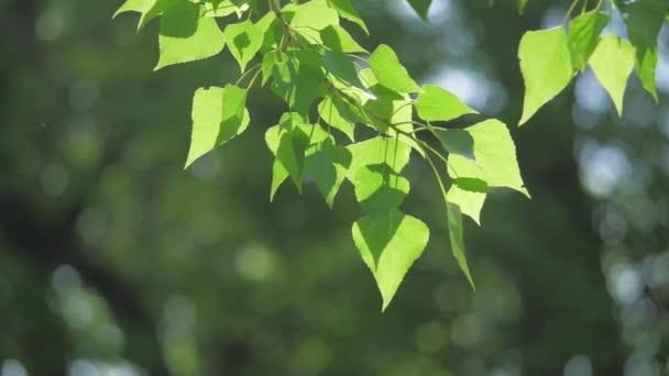 Zelený strom větev na bílém pozadí přírody. sluneční světlo listy stromů vlnících se vítr životního stylu zpomalené video. Jarní příroda koncept