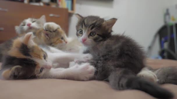 Il Gatto Lecca La Lingua Di Un Gattino Piccolo Giocato Video Al