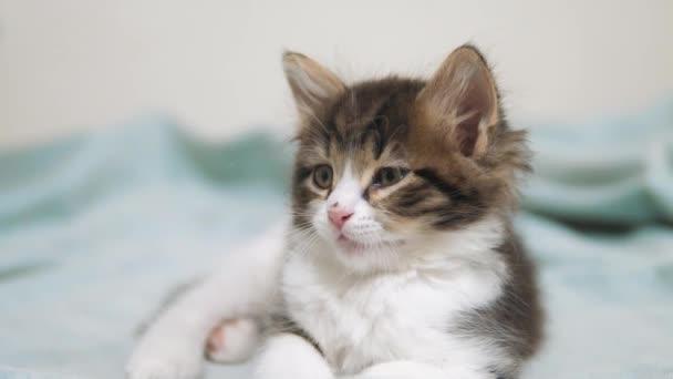 kleine flauschige süße lustige Kätzchen Porträt drinnen. niedliche Kätzchen ein wenig. Kätzchen-Haustier Lifestyle-Katze-Konzept