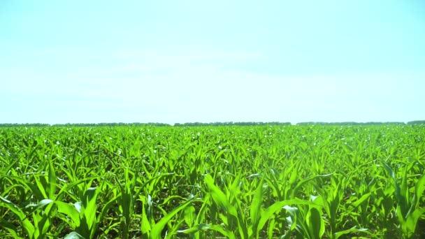 kukuřičné pole modrá obloha charakteru zemědělství koncepce krásné krajiny zpomalené video životní styl