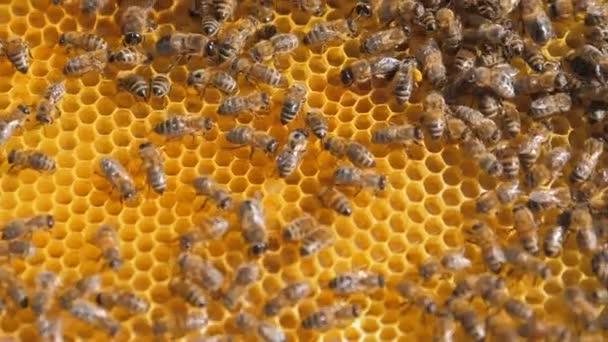 Closeup včely na plástve včelařství .selective zaměření zpomalené video. Bee voštiny s med a včely životní styl. Koncept včelařství