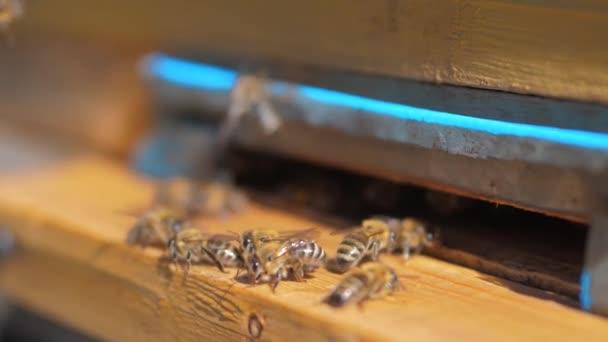 lassú mozgás videóinak méhészet. egy életmód Raj méhek legyek a kaptár a pollen medve mézet gyűjteni. méhészeti fogalmat méh mezőgazdaság. Mézelő méhek rajzás és a repülő körül a beehive