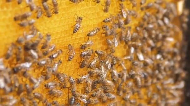 Closeup včel na plástve včelařství .selective zaměření zpomalené video. Bee voštiny s životním stylem medu a včel. Koncept včelařství