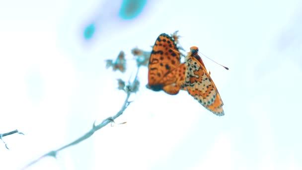 dva motýli se páří. Jilmová, motýl Babočka polychloros. životní styl hnědý motýl sedí na zpomalené video. motýl na pojetí přírody