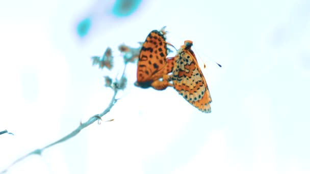 two butterflies mate. Large Tortoiseshell, Nymphalis polychloros butterfly. brown lifestyle butterfly sits on a slow motion video. butterfly on nature concept