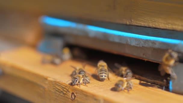 zpomalené video včelařství. roj much, včel životní styl do podregistru sbírat med medvěd pylu. včelařství koncept bee zemědělství. Včely medonosné rojení a létající kolem svého úlu