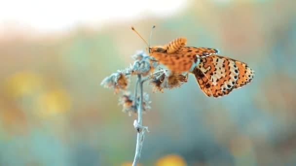 dva motýli se páří. Jilmová, motýl Babočka polychloros. hnědý motýl sedí na zpomalené video. motýl na životní styl pojetí přírody