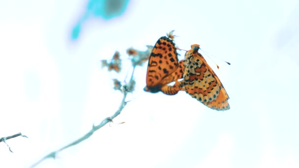 two butterflies mate. Large Tortoiseshell, Nymphalis polychloros butterfly. brown butterfly lifestyle sits on a slow motion video. butterfly on nature concept