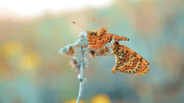 két pillangók társ. Nagy teknősbékahéj, Nymphalis polychloros pillangó. barna pillangó ül a slow motion videót. pillangó életmód természet koncepció