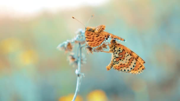 két pillangók társ. Nagy teknősbékahéj, Nymphalis polychloros pillangó. barna pillangó ül a slow motion videót. pillangó életmód a természet koncepció