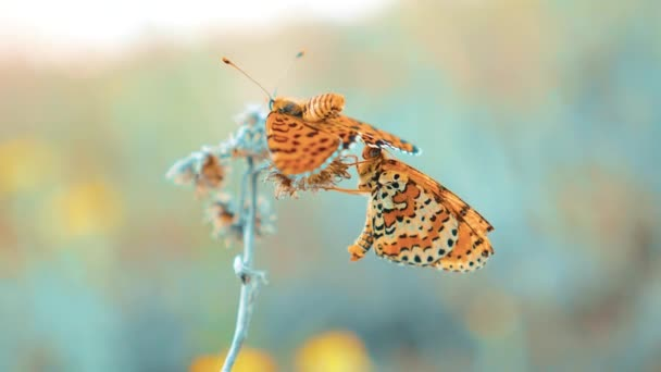 dva motýli se páří. Jilmová, motýl Babočka polychloros. hnědý motýl sedí na zpomalené video. životní styl butterfly na pojetí přírody