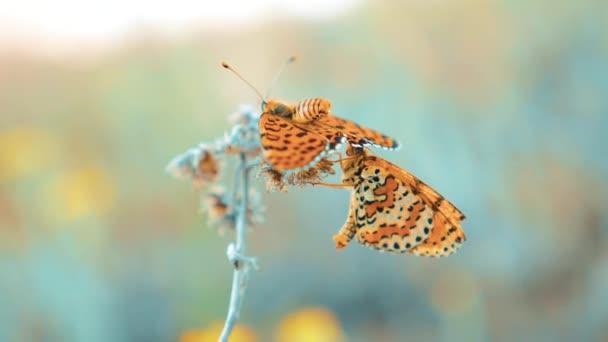 dva motýli se páří. Jilmová, motýl Babočka polychloros. hnědý motýl sedí na zpomalené video životní styl. motýl na pojetí přírody