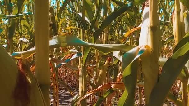 Bio kukuřičné pole lifestyle suché zralého obilí zemědělství. koncept kukuřice sklízení přírodní produkty zemědělství