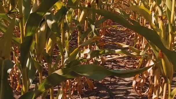 Bio kukuřičné pole zralého obilí suché zemědělství. koncept kukuřice sklízení přírodní produkty životního stylu zemědělství