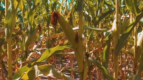životní styl bio kukuřičné pole zralého obilí suché zemědělství. koncept kukuřice sklízení přírodní produkty zemědělství