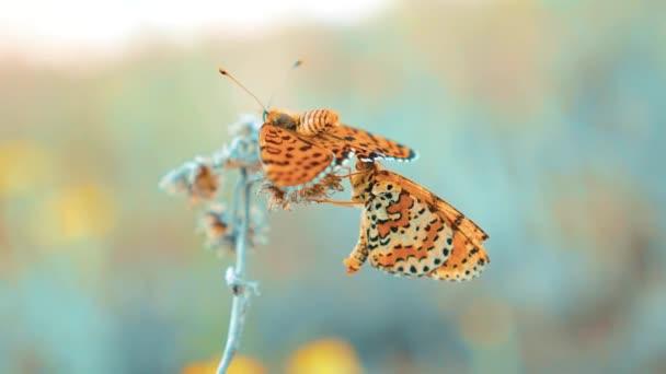 dva motýli se páří. Jilmová, motýl Babočka polychloros. hnědý motýl sedí na životní styl zpomalené video. motýl na pojetí přírody