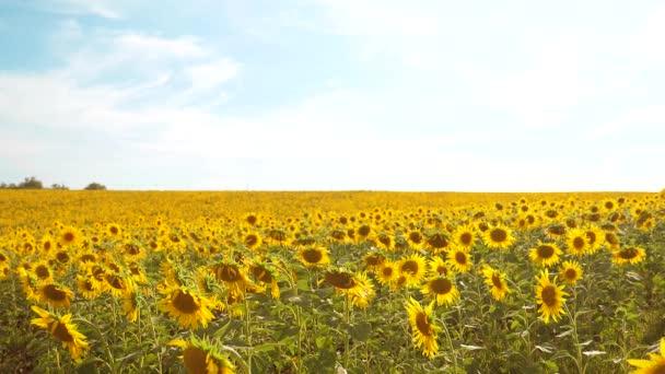 krásné Slunečnice Helianthus pole žlutých květin na pozadí modré oblohy krajiny. zpomalené video. spoustu slunečnice - velké oblasti zemědělství. sběr biomasy ropy konceptů
