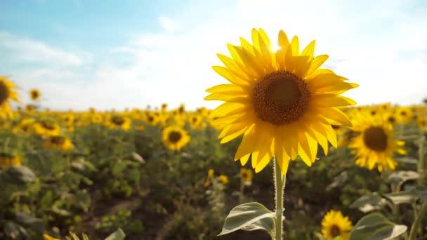 krásné Slunečnice Helianthus pole žlutých květin na pozadí modré oblohy krajiny. zpomalené video. mnoho slunečnice - velké oblasti zemědělství. životní styl sběr biomasy oleje
