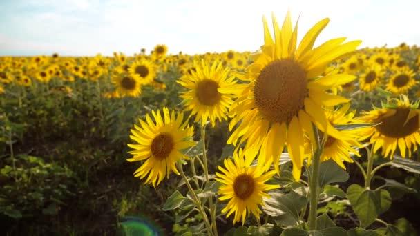 krásné Slunečnice Helianthus pole žlutých květin na pozadí krajiny nebe modré životní styl. zpomalené video. spoustu slunečnice - velké oblasti zemědělství. sběr biomasy oleje