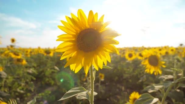 krásné Slunečnice Helianthus pole žlutých květin na pozadí modré oblohy krajiny. zpomalené video. spoustu slunečnice - velké oblasti zemědělství životnímu stylu. sběr biomasy oleje