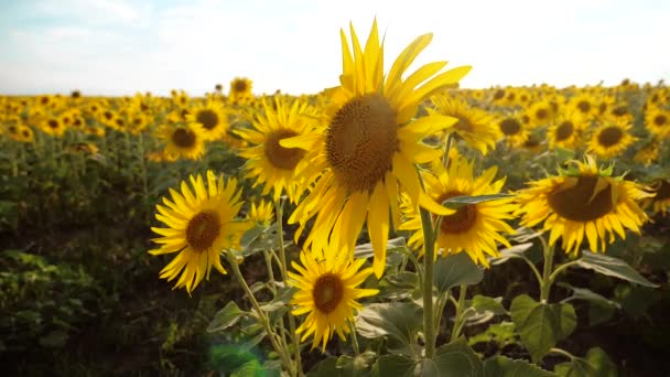 beautiful sunflower Helianthus field of yellow flowers on a lifestyle background of blue sky landscape. slow motion video. a lot of sunflower - a large field of agriculture. collection of biomass oil