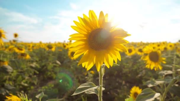 krásné Slunečnice Helianthus pole žlutých květin na pozadí modré oblohy krajiny. zpomalené video. spoustu slunečnice - velké pole životní styl zemědělství. sběr biomasy oleje