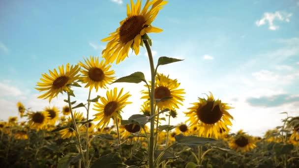 Krásné slunečnice životní styl Helianthus pole žlutých květin na pozadí modré oblohy krajiny. zpomalené video. spoustu slunečnice - velké oblasti zemědělství. sběr biomasy oleje