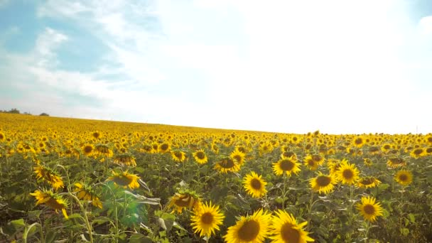 beautiful sunflower Helianthus field of yellow flowers on a background of blue sky landscape. slow motion video. a lot of sunflower - a large field of agriculture. collection of biomass oi lifestylel