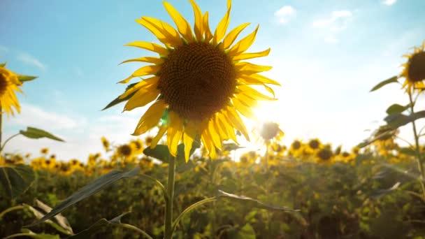 krásné Slunečnice Helianthus pole žlutých květin na pozadí modré oblohy krajiny. pomalé videa pohybu životní styl. spoustu slunečnice - velké oblasti zemědělství. sběr biomasy oleje