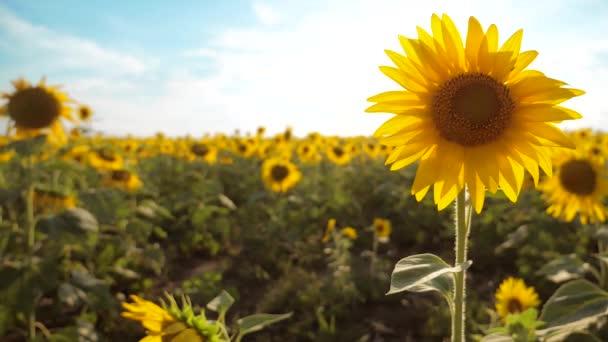 krásné Slunečnice Helianthus pole žlutých květin na pozadí modré oblohy krajiny. zpomalené video. spoustu slunečnice - životní styl velké oblasti zemědělství. sběr biomasy oleje