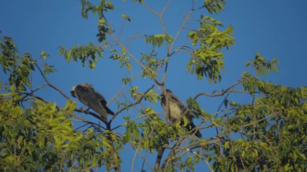 Μαύρο πουλί κλιπ