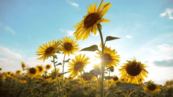 krásné Slunečnice Helianthus oblast životní styl žluté květy na pozadí modré oblohy krajiny. zpomalené video. spoustu slunečnice - velké oblasti zemědělství. sběr biomasy oleje