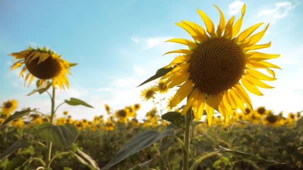 szép napraforgó Helianthus területén sárga virágok a táj kék ég háttér. Slow motion videót. rengeteg napraforgó életmód - egy nagy területen a mezőgazdaság. biomassza olaj gyűjteménye
